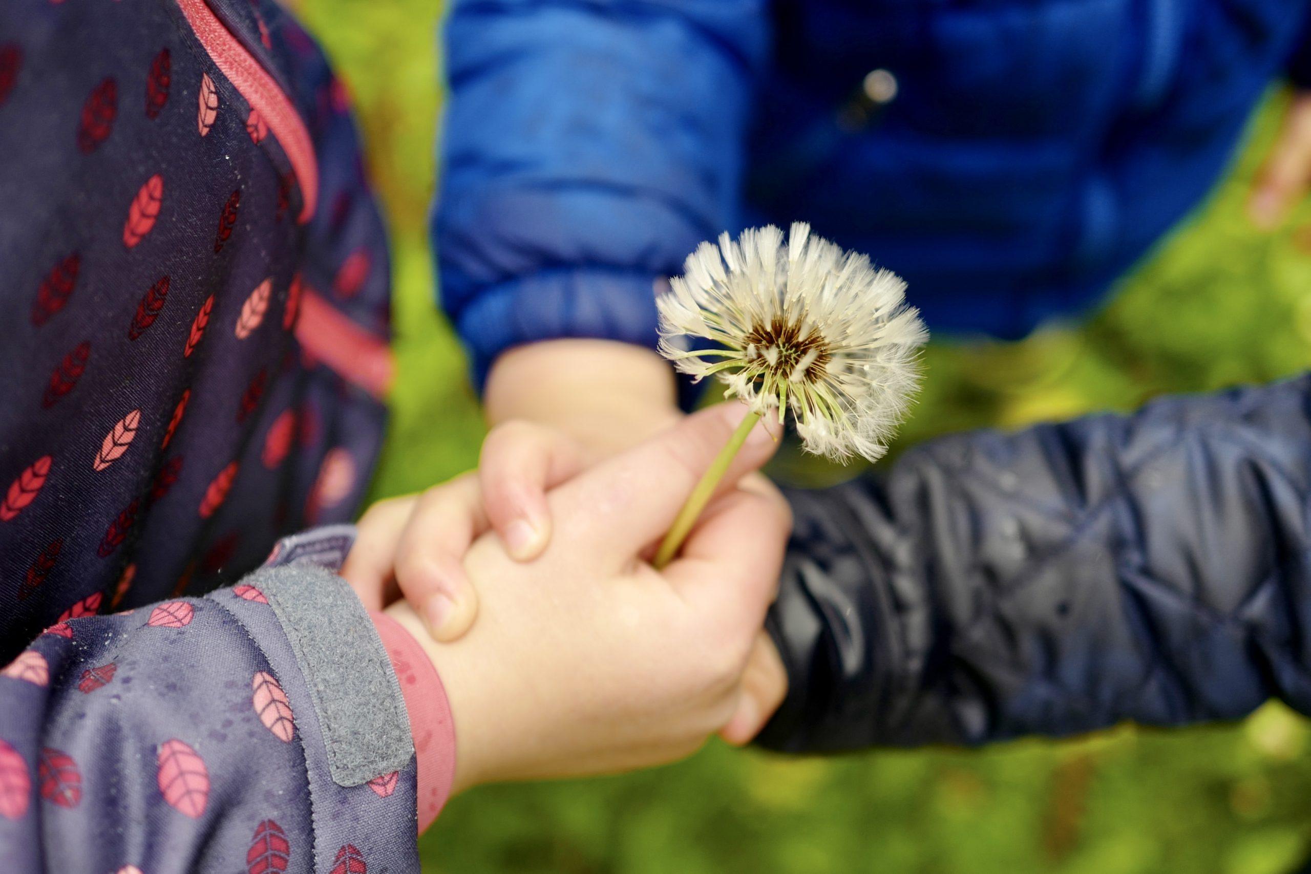 Kinderhände halten Pusteblume